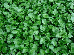 Watercress_eg.jpg